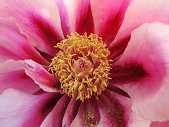 Peony / Pfingstrose (Habub3) Tags: park travel holiday flower macro nature rose canon germany garden deutschland reisen flora europa europe urlaub natur peony powershot blume makro garten vacanze pfingsten g12 2014 paeonia pfingstrose habub3