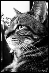 NAPSTER IN PROFILE (Ann Frye) Tags: portrait cat blackwhite profile spike moonwhiskers catsbymoonwhiskers
