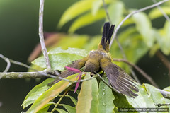 Olive-backed Sunbird (Nectarinia jugularis)_DSC1825-1 (BoonHong Chan) Tags: male nikon singapore nikkor sunbird olivebackedsunbird cinnyrisjugularis sungeibulohwetlandreserve nikond500 boonhong leafbathing singaporebird olivebackedsunbirdmale olivebackedsunbirdmalecinnyrisjugularis nikkor200500mmf56