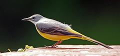 Grey Wagtail (NickWakeling) Tags: nature birds wildlife norfolk wagtail greywagtail horstead canon60d horsteadmill sigma150600mmf563dgoshsmcontemporary