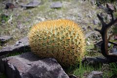 Eriosyce aurata (Umadeave) Tags: chile cactus montagne plante flora chili desert flore eriosyce aurata