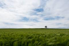 Lonely tree (Fabian Kaiser) Tags: schweiz baum neerach getreide gerste