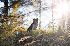 DSC_1772T (juliannahiaasen) Tags: portrait dog pet dogs animal training photography bordercollie australianshepherd dogphotography dogtraining dogportrait dogphotographer