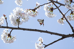 Luehdorfia japonica (kenta_sawada6469) Tags: flowers sky plants white plant flower macro tree nature colors butterfly cherry spring wildlife butterflies bugs lepidoptera cherryblossom sakura papilionidae japaneseluehdorfia