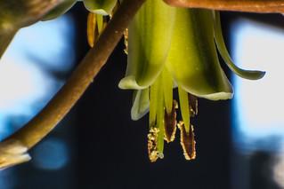 Rubble Aloe Flower