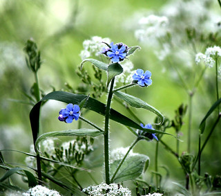 Not forget-me-not