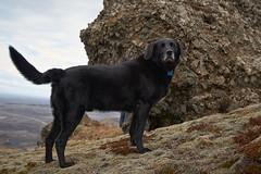 4mai_Thorbjorn_091 (Stefn H. Kristinsson) Tags: dog mountain dogs iceland spring hiking may ma vor hundur sland ganga fjallganga tamron2875mm grindavk hundar grindavik orbjrn nikond800 thornbjorn orbjarnarfell