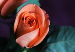 DSC_1479 Orange Rose (PeaTJay) Tags: flowers roses plants macro nature rose gardens fauna reading flora indoors micro closeups berkshire rosebuds lowerearley nikond750