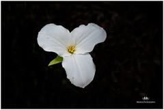 MAY 2016  NM1_9222_012462-22 (Nick and Karen Munroe) Tags: flowers wild ontario canada macro munroe wildflowers upclose trilliums caledon nickandkaren karenandnick 1424 nikon1424f28 munroephotography blackintheback munroedesignsphotography munroedesigns karenick karenick23 nickmunroe nikond750 nickandkarenmunroe karenandnickmunroe karenmunroe
