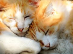 Bigotes and Minnie (Ani Carrington) Tags: orange pet cats pets love fur ginger soft asleep motherandson gingercats orangecats catcouples
