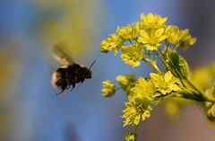 Here I come... (G.Claesson) Tags: blue brown flower yellow maple sweden schweden bumblebee gelb blomma sverige braun blau blume gul brun hummel bl lnn humla aborn hglandet