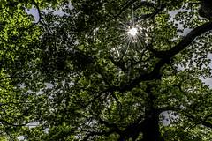 Photosynthesis (PG63) Tags: life light green oak stockholm ek djurgrden ljus fotosyntes fotosondag fotosndag fs160522