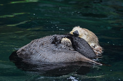 Sea Otter (ajblake05) Tags: canada animals vancouver britishcolumbia northamerica stanleypark vancouveraquarium captive seaotter mammals vertebrates lowermainland greatervancouver vertebrata mustelidae enhydralutris