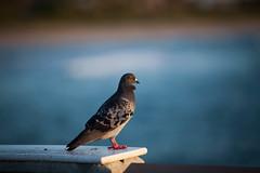 IMG_1920 (zumponer) Tags: ocean morning sea bird beach nature sunrise canon pier florida wildlife fullframe f28 200mm 200mmf28 canon5dmarkii