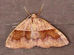 Moth_053016e (Eric C. Reuter) Tags: ny nature wildlife may insects moths hancock catskills 2016 somersetlake mothing 053016