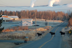 (hgendreau57) Tags: moose maine madawaska