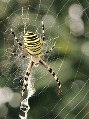 Big fat wasp spider (Hans & Liek) Tags: italy spider spin tuscany toscane italië waspspider tijgerspin wespspin