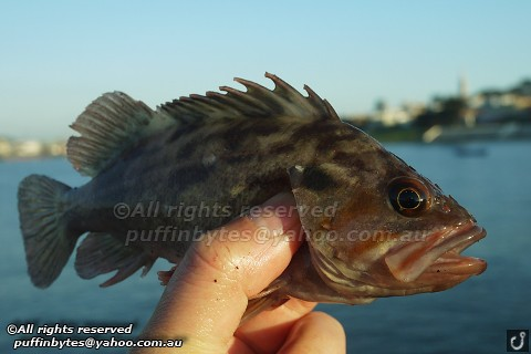 Brown Rockfish - Sebastes auriculatus