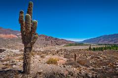 Cactus overlooking the Quebrada de Humahuaca (TravelnSam) Tags: cactus argentina inca ruins jujuy tilcara quebradadehumahuaca