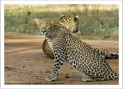 IMG_1929 (Harsha Matarage) Tags: pictures nature animal forest asia photos shots pics wildlife snaps leopard jungle mating srilanka ceylon lk yala yalanationalpark srilankanleopard pantheraparduskotiya diviya kotiya harshadesilva flickrbigcats harshamatarage