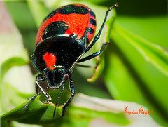 Red Jewel Bug - Choerocoris paganus - Imagevixen1