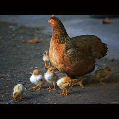 Mother hen and chicks (-clicking-) Tags: lighting light chicken nature animals natural farm happiness poultry chicks hen familly motherhen bestcapturesaoi elitegalleryaoi happyfamilly motherhenwhithchicks highqualityanimals