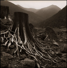 stump forest (stormiticus) Tags: blackandwhite bw tree film rolleiflex washington kodak tmax rodinal olympicnationalpark lakecushman tmx sc11