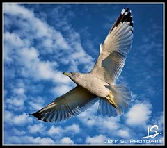 Flying high (Jeff S. PhotoArt) Tags: sky ontario canada nature collingwood wasaga gull georgianbay milleniumpark translucent shipyard wasagabeach bluemountain ontariocanada collingwoodontario nottawasagabay collingwoodharbour collingwoodpier