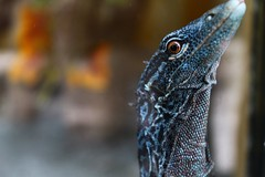 blue lizard (warmorning) Tags: lizard kadal