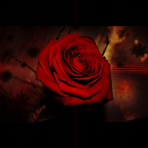 Birthday Rose for my daughter