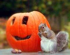 Pumpkin & squirrel (lynne_b) Tags: autumn fall nature animal pumpkin rodent illinois squirrel seasons jackolantern wildlife nuts gourd archives hungry creature mealtime vermin acorns arboreal vistor bushytailedrodent illinoiswildlife