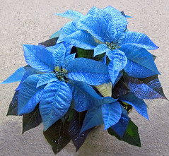 Royal Blue (njchow82) Tags: plant flower nature closeup poinsettias royalblue flowerscolors beautifulexpression awesomeblossoms exceptionalflowers nancychow canonpowershotsx30is