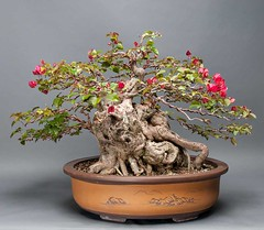Bougainvillea bonsai (Nick Alpin) Tags: nikon place florida bougainvillea bonsai d300 nickalpin wwwnickalpincom adamlavigne