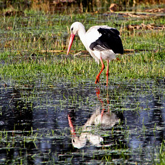 In Stork Contrast (Ger Bosma) Tags: bird dutch europe european thenetherlands stork storch ciguea cigogne whitestork ooievaar ciconiaciconia cegonhabranca earrebarre cigeablanca cicognabianca bocianbiay hvidstork  doubleniceshot tripleniceshot mygearandme mygearandmepremium mygearandmebronze mygearandmesilver mygearandmegold mygearandmeplatinum flickrstruereflection3 img277251 valgetoonekur