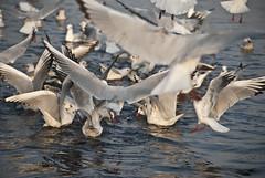 into #3 (parth joshi) Tags: morning birds river random delhi pollution winters musings boattour yamuna brownheadedgull nigambodhghat
