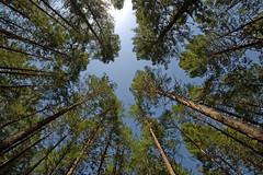 TREE HUGGING (DESPITE STRAIGHT LINES) Tags: trees sky canada landscape nikon bc foliage canopy tamron duncan cowichan d90 ilobsterit