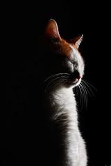 Non fotografarmi! (Federqua) Tags: macro canon eos 100mm sguardo mao usm sole gatto luce 50d catmoments