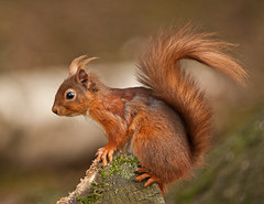 Tufty On A Log!!  (Red Squirrel) (marsch1962) Tags: cute nature mammal log woods tail tufts britishwildlife tufty redsquirrel nikon300mmf4