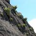 Rock wall with bromeliads - Pared llena de plantas Bromeliaceas;  - El Fuerte, Pre-Incan Archeologic Ruins approx 1500 BC; near Samaipata, Departamento de Santa Cruz, Bolivia