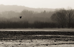 Otherwise Boring (H. Hille) Tags: winter bw bird germany landscape sw raven landschaft blackbird vogel schleswigholstein rabe 2x eutin ostholstein canonef70200mmf28lisusm canoneos1dmarkiii kolkrabe ef70200mmf28lisusm20x canonextenderef2xii