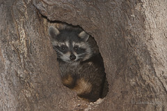 Raton laveur / Raccoon (lululemay) Tags: lululemay lucien lemay raton laveur ratonlaveur raccoon