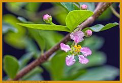 Acerola: botes e flor (Nightgoose) Tags: flower flor boto button acerola speedlite580exii nightgoose alexmsouza canonef100mmf28lmacroisusm malphigiaglabral