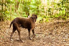 Explorer (Jesse4870) Tags: dog mountain creek rainforest rocks pointer north australia trail german queensland cairns far shorthaired freshwater redlynch