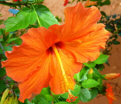 Tropical orange beauty