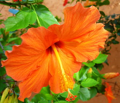 Tropical orange beauty (Peggy2012CREATIVELENZ) Tags: blue friends brazil orange green yellow hibiscus showroom soe bestofthebest musictomyeyes finegold supershot thegalaxy flickrbronzeaward heartawards yourpreferredpicture arealgem colorsoftheheart beautifulshot damniwishidtakenthat 100commentgroup artofimages dragonflyawards thebestvisions flickraward sapphireawards mygearandme blinkagain chariotsofartists level1photographyforrecreation redgroupno1 yellowgroupno2 peggy2012creativelenz p1220623a this11naturalobjectonly