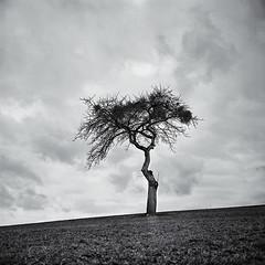 Common Scene #1 (Sebastian (sibbiblue)) Tags: blackandwhite bw tree field clouds analog rolleiflex germany landscape iso400 wiese ilfordxp2super schwarzweiss baum lonelytree c41 35f