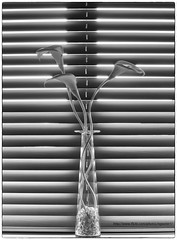 Blind faith (~SteveBaron~) Tags: flowers blackandwhite bw lily monotone vase blinds arumlily