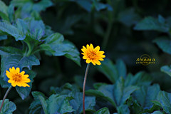 (    , ) Tags: flowers orange flower green nature yellow canon qatar qtr 600d ameera amoora mygearandme