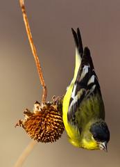 Lesser Goldfinch (Davor Desancic) Tags: new bird del canon mexico apache bosque 7d 400mm