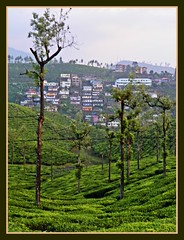 Valparai seen in the evening light from  Woodbriar's Stanmore estate (Indianature st2iii) Tags: india mountains nature forest evening december tea tamilnadu westernghats teaestate valparai 2011 indianature anamalais snonymous woodbriarestate stanmoreestate